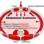 Abdominals & Core, Anatomy Explained